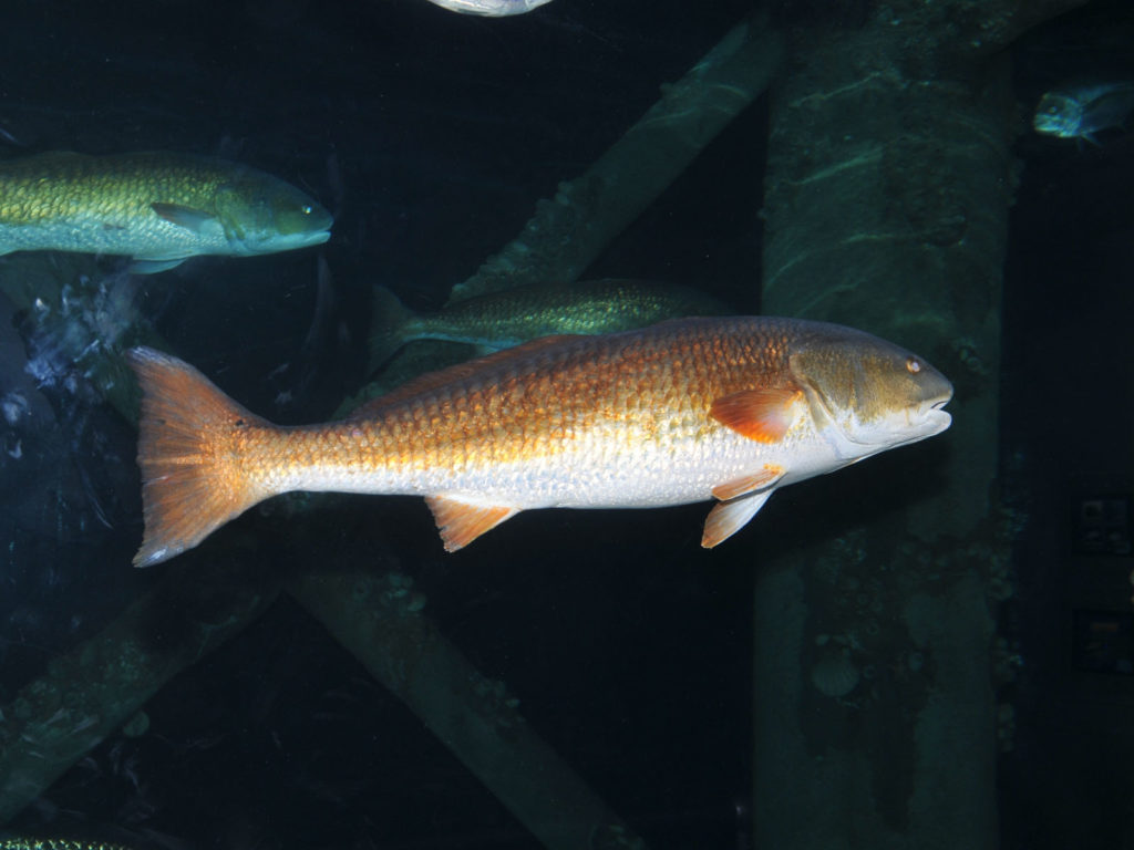 Red Drum Fishing Paddleboard Science